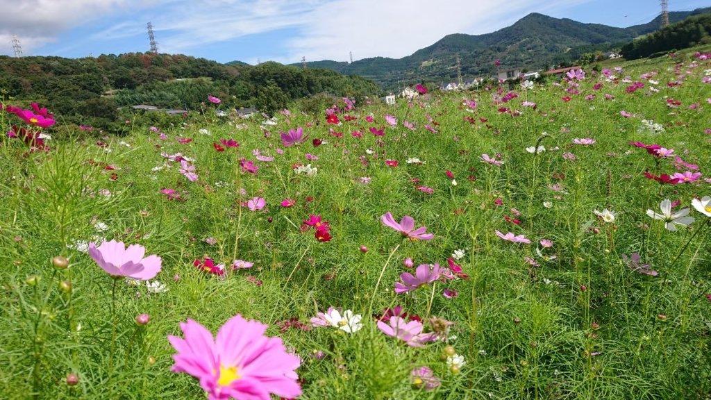 市内にある畑には季節の花も咲きます