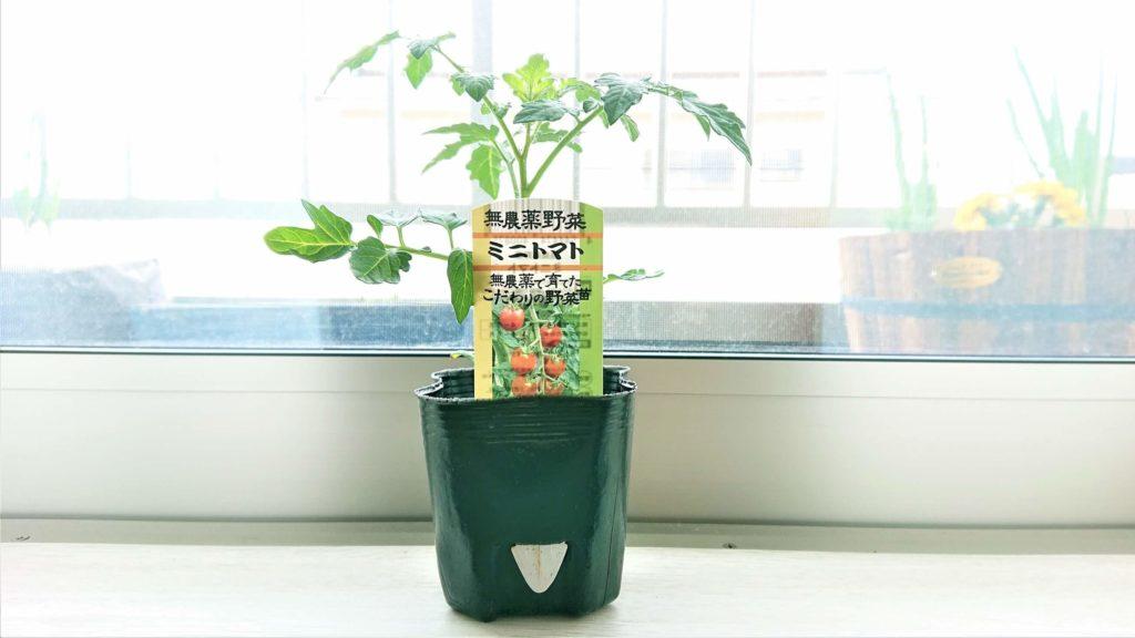 無農薬ミニトマト