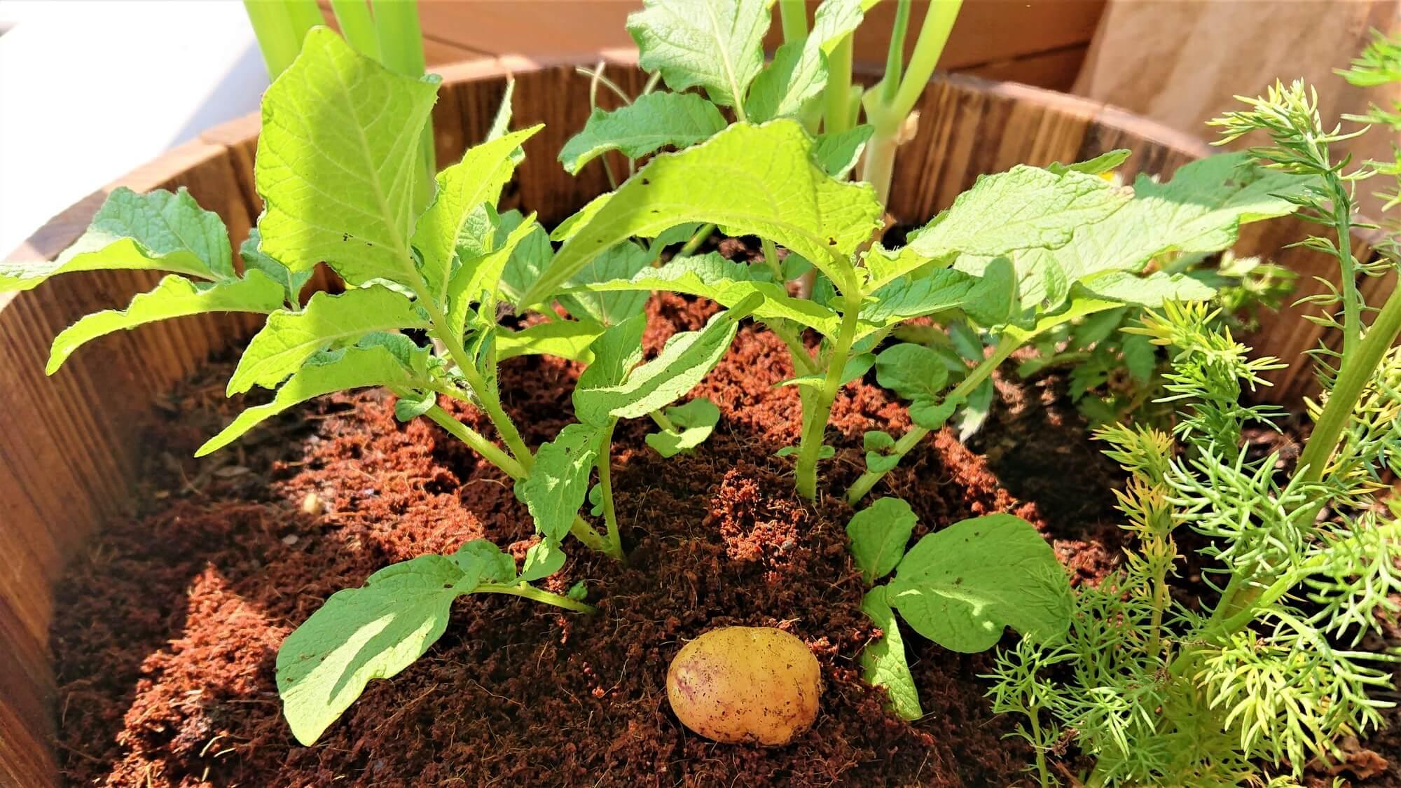 ジャガイモの芽カキ