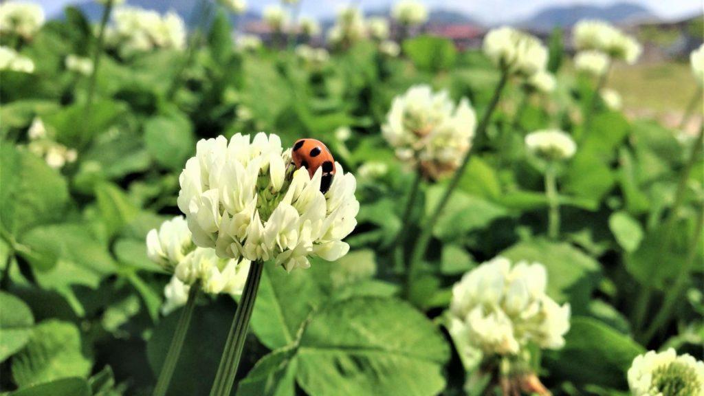 シロツメクサと害虫対策