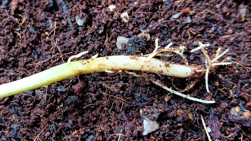 枝豆の根っこ