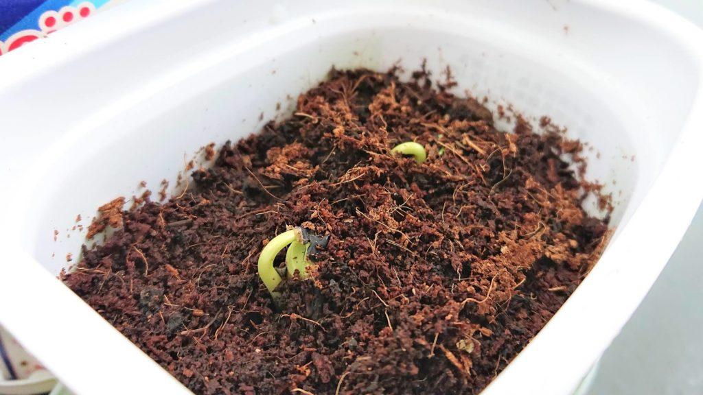 枝豆も発芽