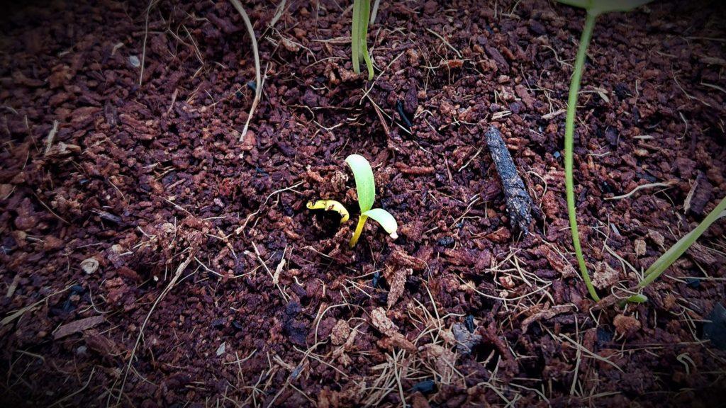 スイスチャードの芽