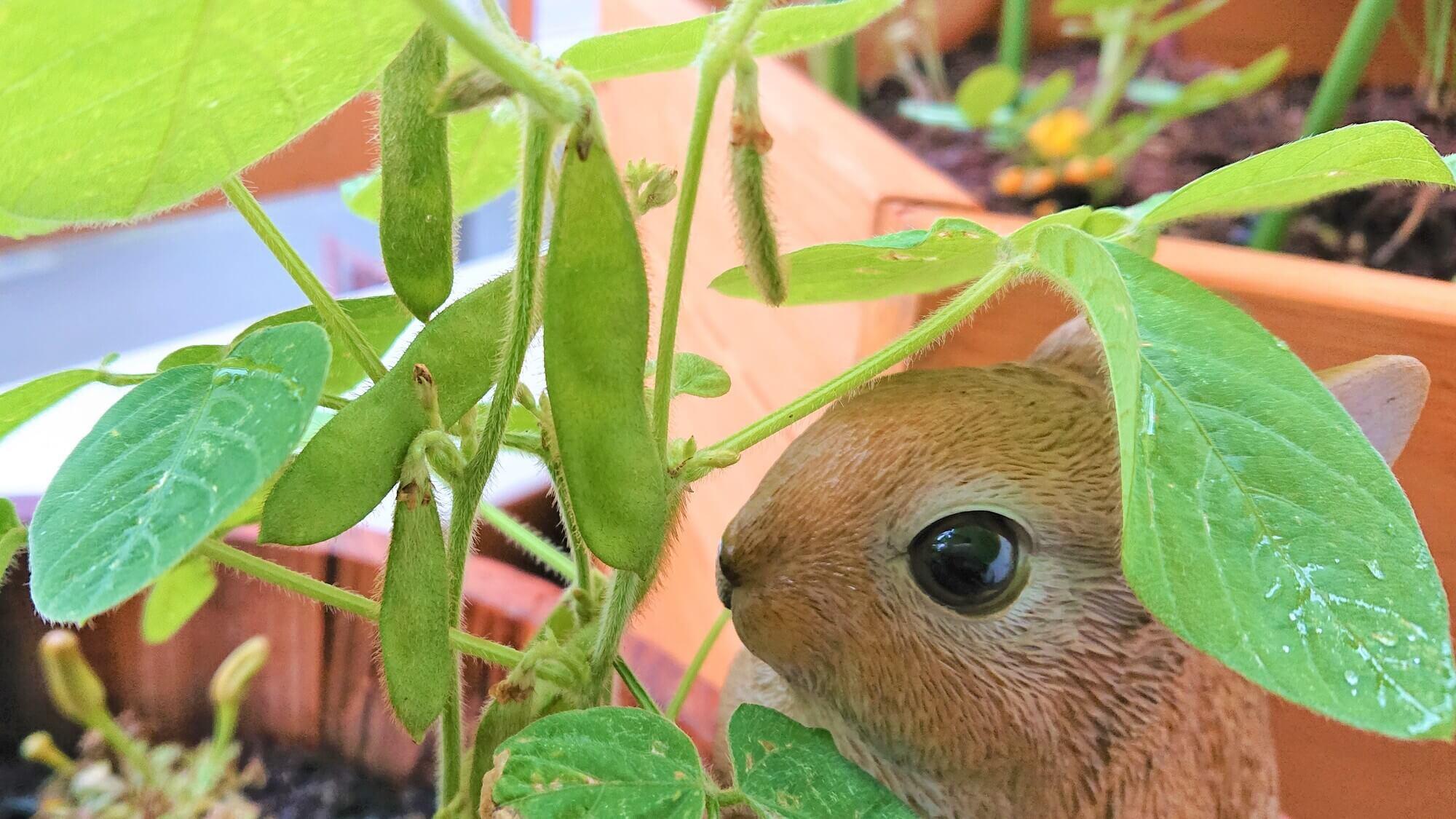 枝豆の観察