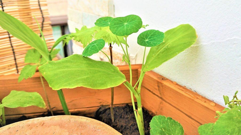 ナスタチウムの新芽