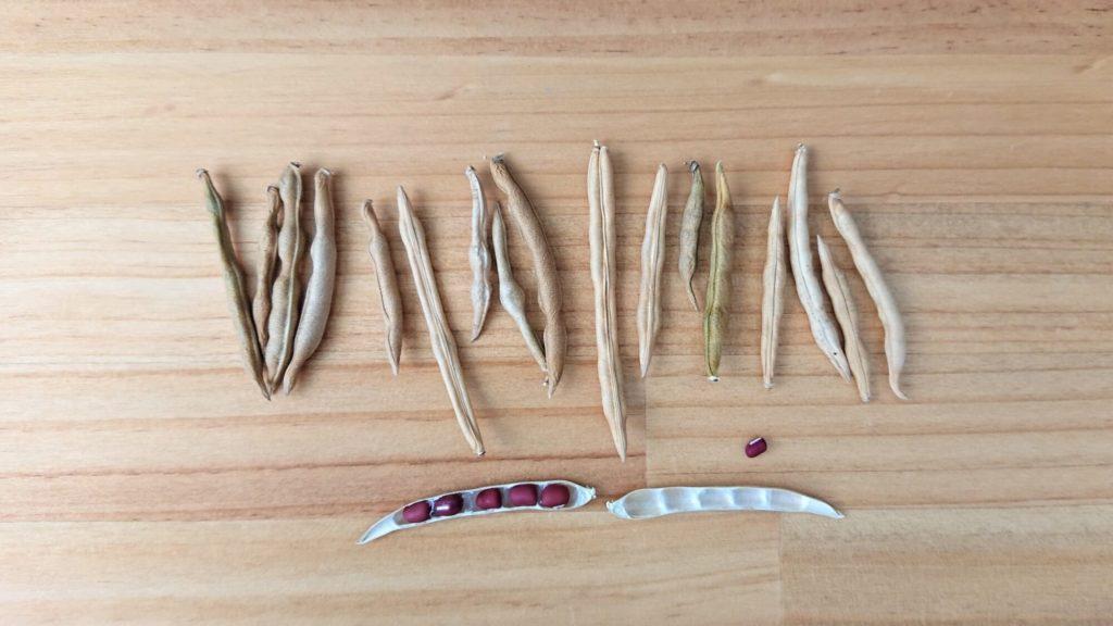 アズキの収穫
