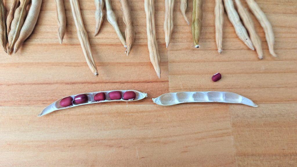 小豆の構造